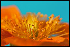 122/365 (anna.creedon) Tags: orange plant flower macro nature canon cyan stamen day122 herbaceous kenko extensiontubes project365 canon450d project3661 project365020509 geumxborisii project36502may09