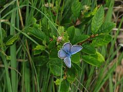Heideblauwtje (capreolus) Tags: butterfly insects plebejusargus silverstuddedblue heideblauwtje