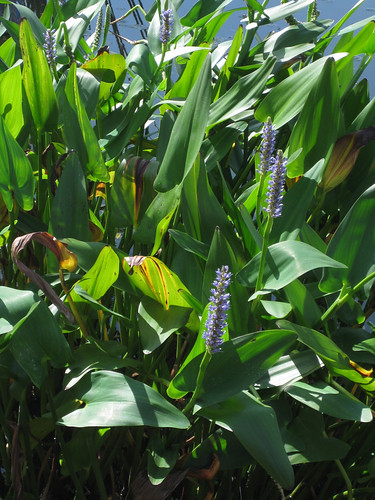 Pickerelweed2