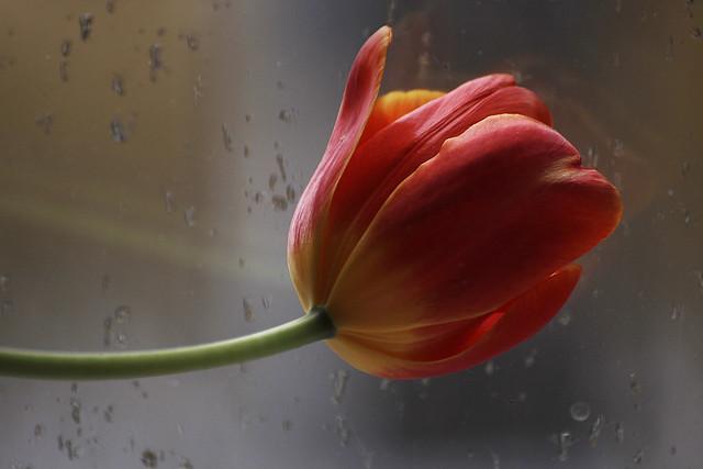 tulip pinky