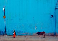 India (pearson_251) Tags: street travel blue woman india color wall cow nikon religion hindu sari rajastan puskar d80