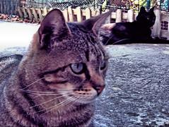 Duo (RoLiXiA) Tags: sardegna cat chat sardinia duo felino gatto nero hdr micio sardaigne diagonale cerdea gattoeuropeo felixcatus zoz panasonicdmcfz45