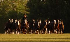 Los picazos (Eduardo Amorim) Tags: horses horse southamerica argentina criollo caballo cheval caballos cavalos pferde herd cavalli cavallo cavalo gauchos pferd pampa hest hevonen chevaux gaucho  amricadosul hst gacho  campero amriquedusud provinciadebuenosaires galope  gachos  sudamrica sanantoniodeareco suramrica amricadelsur  areco sdamerika gregge crioulo troupeau caballoscriollos herde criollos  tropillas  pampaargentina camperos americadelsud tropilhas tropilla  crioulos cavalocrioulo americameridionale tropilha caballocriollo campeiros campeiro eduardoamorim cavaloscrioulos pampaargentino