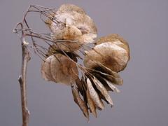 Ulme. Elm (leopanta*) Tags: winter macro berlin texture nature closeup dry stilllive zen dried myfavorite fleeting elm 2008 rhizome canonpowershotg2 freshminds noncoloursincolour zenenlightment leopanta thelastyear