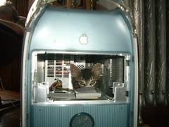 (ego technique.) Tags: nyc newyorkcity newyork apple brooklyn cat macintosh mac kitten g4 tabby longhair powermac miyuki  powerpc oldmac catincomputer desktoppc desktoptower m5183