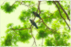 A mid summer day's dream (Shabbir Ferdous) Tags: photographer dhaka crows bangladesh bangladeshi canoneosrebelxti shabbirferdous sigmazoomtelephoto70300mmf456apodgmacro wwwshabbirferdouscom shabbirferdouscom