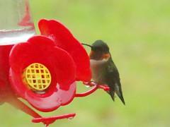 FOS hummingbird