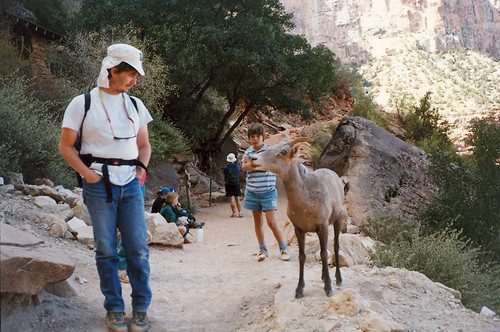 The Wily And Elusive Desert Bighorn Sheep