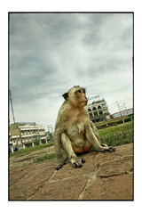 lopburi (fly) Tags: thailand monkey asia lopburi fly simonkolton