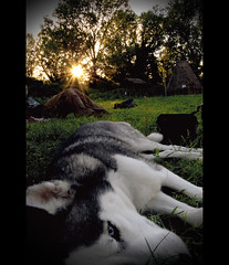 Wasting time in Caffarella Park is tiring. (Ch3rryliciouS) Tags: sunset dog rome roma nature cane tramonto natura fourseasons siberianhusky 4seasons caffarella parcodellacaffarella parchiromamor ysplix
