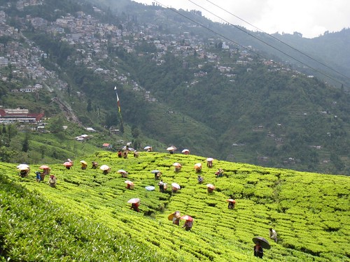 Happy Valley tea plantation in Darjeeling