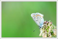 Argus 2 (Joh63) Tags: blue macro nature butterfly bleu papillon bleue sigma150 argusbleu macrolife