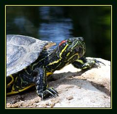 Yeah I've Been Lazy....What of it? (Explored) (tinyfroglet) Tags: fab water turtle reptile shell naturesfinest artisticexpression golddragon anawesomeshot diamondclassphotographer flickrdiamond goldstaraward bichobook