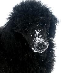 Sassy 3mo (poodleit) Tags: sassy standardpoodle blackstandardpoodle blackstandardpoodlepuppy poodleit