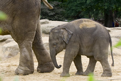 Baby Elephant (Djenzen) Tags: baby elephant animal emmen dierenpark