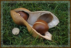 """Black Bean"" seed pod (Tatters:)) Tags: wow coin pod native seed australia explore qld queensland getty blackbean fabaceae favourite onedollar myfavourite papilionaceae castanospermumaustrale moretonbaychestnut faboideae castanospermum australianrainforestplants australianrainforesttrees naturethroughthelens mawep australianaboriginalfood nswrfp qrfp arffs gettysept09"