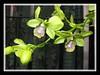 Close-up of Dendrobium 'Burana Jade'
