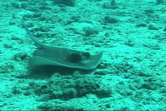 Blue spotted stingray / Dasyatis kuhlii /  (TANAKA Juuyoh ()) Tags: blue fish video ray underwater stingray diving lagoon dot spotted   fantail   dasyatis ribbontail  kuhlii