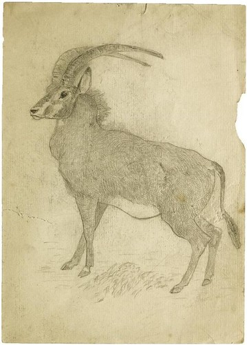 Antelope (pencil)