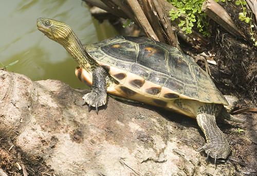Ocadia Sinensis Distribution Turtle Ocadia Sinensis