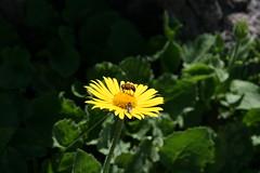Bee and Fly, Mt.Pilatus (jay8085) Tags: switzerland luzern pilatus lucerne swissalps swissmountains mountpilatus