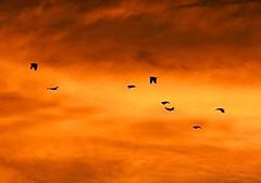 Papuan sunset (Mangiwau) Tags: new sunset orange cloud sun white west birds yellow clouds indonesia volcano golden guinea blog dusk top flock ash cockatoo dust emissions papua effect volcanic emit crested aura fallout emission cockatoos irja naturesfinest keerom emitting maghrib ashcloud irian manam tekai usku goldstaraward toporangeblog