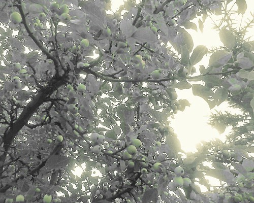 Crab Apple Tree by LostMyHeadache