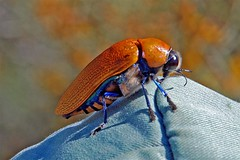 BIG beetle (jeans_Photos) Tags: orange australia insects westernaustralia murchison invertebrates buprestidae jewelbeetle woodborer geo:country=australia giantjewelbeetle stigmoderina julodimorphasaundersi taxonomy:binomial=julodimorphasaundersi taxonomy:genus=julodimorpha