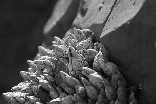 Gooseneck Barnacles & Stone