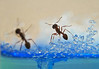 Ant farmers of the world UNITE! (Kalavinka.3) Tags: farm ant ants antworks