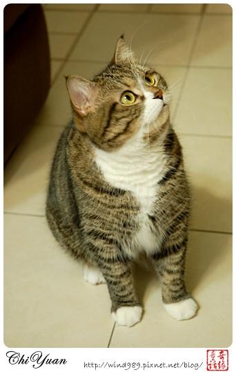 【貓季】美食當前的貓老大DINO