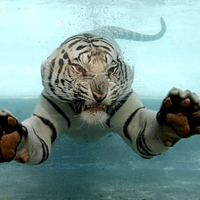 white-tiger-swimming copy