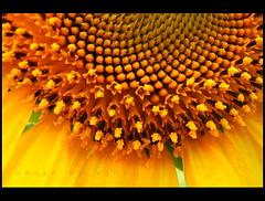 Yellow fellow (AgniMax) Tags: flower yellow kerala loveit explore sunflower agni digitalcameraclub platinumphoto colorphotoaward aplusphoto colourartaward wonderfulworldofflowers alemdagqualityonlyclub 100commentgroup loveitneverflood
