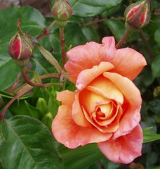 Rosa (lacha2008) Tags: mixedflowers flowersarebeautiful excellentsflowers natureselegantshots exquisiteflowers mimamamorflowers panoramafotogrfico greatshotss macroselsalvador mygearandmepremium mygearandmebronze mygearandmesilver flickrsportal flickerflrescloseupmacros aboveandbeyondlevel4 aboveandbeyondlevel1 flickrstruereflection1 flickrstruereflection2 flickrstruereflection3 flickrstruereflection4 flickrstruereflection5 flickrstruereflection6 flickrstruereflection7 flickrstruereflectionexcellenceaward flickrstruereflectionexcellence aboveandbeyondlevel2 aboveandbeyondlevel3 magicmomentsinyourlifelevel1