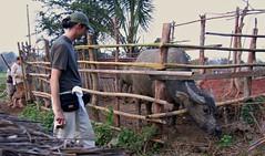 LAOS, Luang-Prabang , Hinter Gittern  - 29 (roba66) Tags: animal animals tiere felder laos landschaft luangprabang tier landschaften büffel earthasia