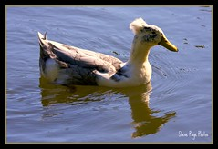 Duck With A Do? (iTail ~ Steve Page) Tags: blue lake reflection bird nature water duck pond searchthebest hairdo soe foul cubism centralflorida orlandoflorida naturesfinest blueribbonwinner itail supershot winterparkflorida 40d abigfave platinumphoto anawesomeshot avianexcellence birdsphotos citrit theunforgettablepictures elitephotography theperfectphotographer goldstaraward