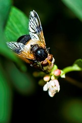 Bee Black (Fahad Al Nusf) Tags: greenleaves plant black flower macro me leaves closeup digital zoo scotland nikon asia close gulf middleeast bee ku arab micro kuwait edinbrugh fahad kw arabiangulf q8 liberality essam 105mm blackbee kwt alnusif   nikon105mm naturescall d80   nikond80 fenyn fahadalnusf alnusf   nusef nusif alnusef fahadessamalnusf essamalnusf alnisef alnisf nisf nisef