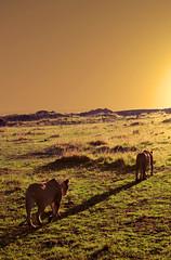 Sunset (Petits Voyages) Tags: game kenya coucher masaimara leonas lionnes