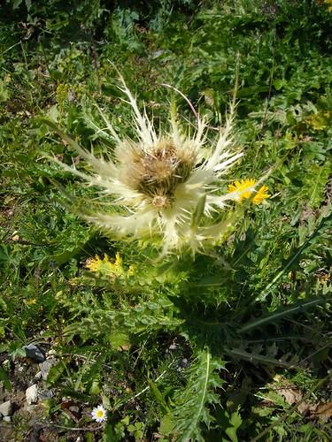 Spiniest Thistle (Cirsium spinoissimum)