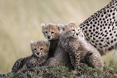 3. Cute threesome (Lyndon Firman) Tags: africa kenya bbc cheetah cubs shakira masaimara acinonyxjubatus bigcatlive