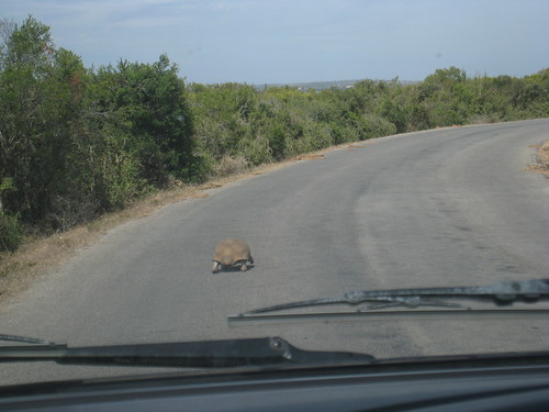 Tracking the not-so-elusive Leopard Tortoise