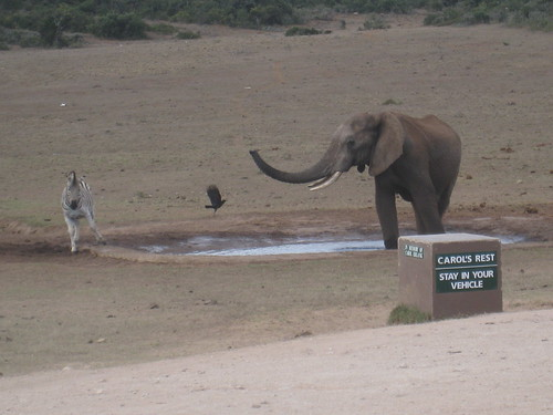 This selfish elephant won't let the zebras get a sip of water!