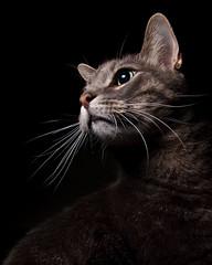 statuesque (poopoorama) Tags: cat nikon sigma jackson d300 blogdannyngancom strobist 1850mmf28exmacrohsm