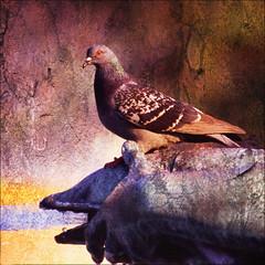 Pigeon, Trafalgar Square, London (dave in norfolk) Tags: uk england bird london texture pigeon trafalgarsquare overlay 500x500 theunforgettablepictures proudshopper heavenlycaptures
