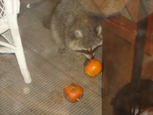 raccoon eating pumpkins on our porch