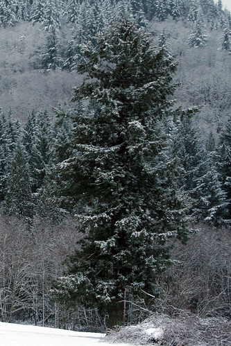 snow_big_tree