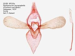 15.052  BF332a Phyllonorycter leucographella_M (Patrick Clement.) Tags: moth slide microscope genitalia