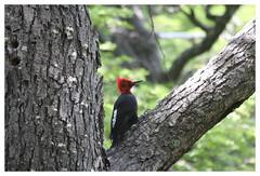Magellanic Woodpecker (Arkovic) Tags: argentina losglaciares campephilusmagellanicus magellanicwoodpecker picamaderosdemagallanes datelmagellansk