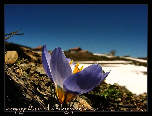 Spring Flower at Snowy Mountains