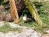 dhh bx (dmathew1) Tags: tampa florida lowryparkzoo babywhitetiger babymandrill babyorangatun babycolobusmonkey babyguenon